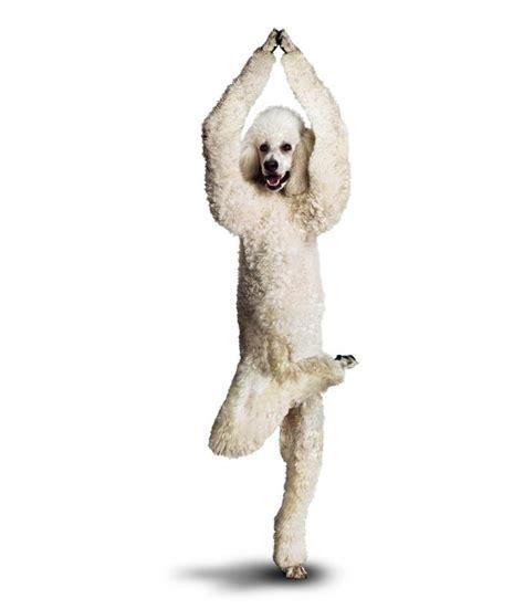 imagenes yoga animales graciosas im 225 genes de perros haciendo yoga taringa