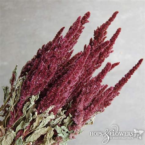 dried red amaranthus hops  flowers
