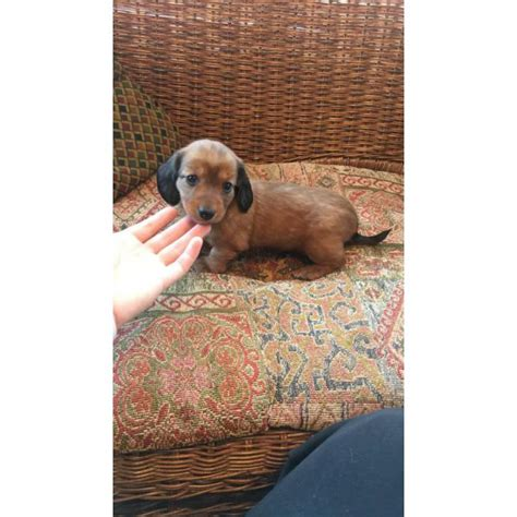 dachshund puppies tulsa miniature dachshund puppies tulsa ok photo