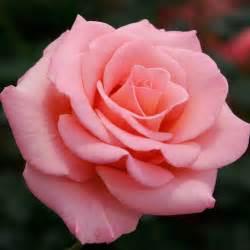 cherokee brave dogwood hybrid tea roses tea roses and