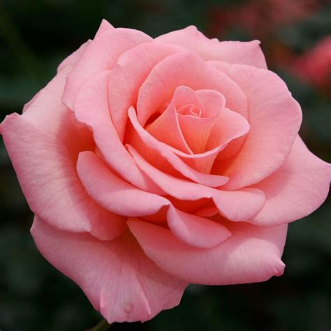 rose s cherokee brave dogwood hybrid tea roses tea roses and