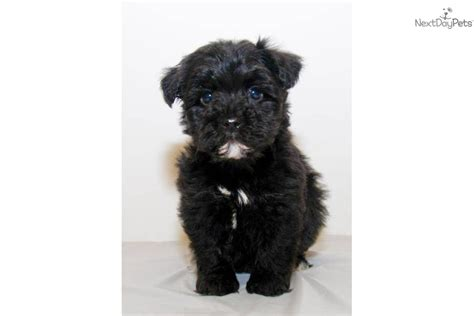 yorkie poo black the gallery for gt teacup black yorkie poo