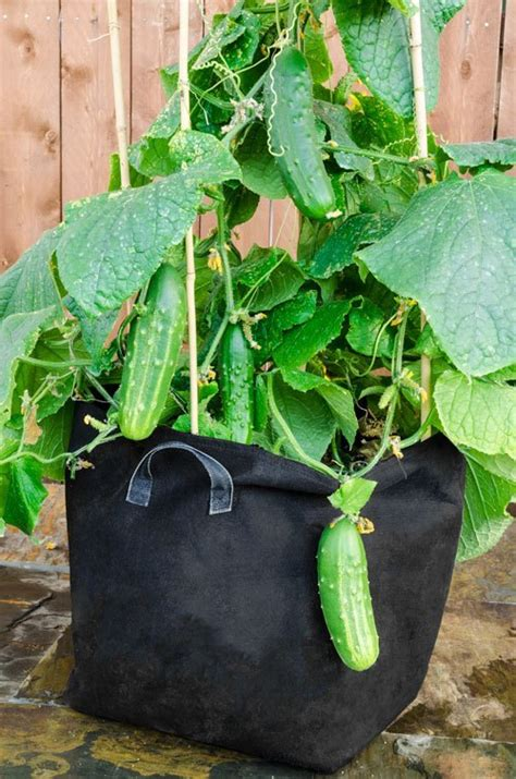 grow cucumbers in pot an easy to grow vegetable for