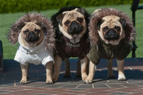 pug leather jacket pugs in fancy dress