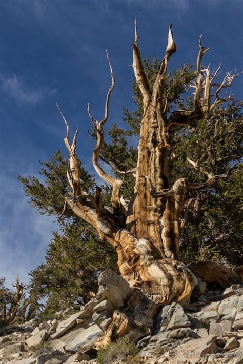 bristlecone pine tree california mystic 188 best personali trees images on trees