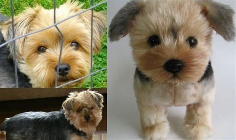stuffed yorkie 10 best images about cuddle clones on toys your and guinea pigs