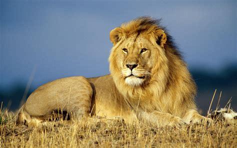 tutorial gambar singa 36 gambar singa foto singa paling keren