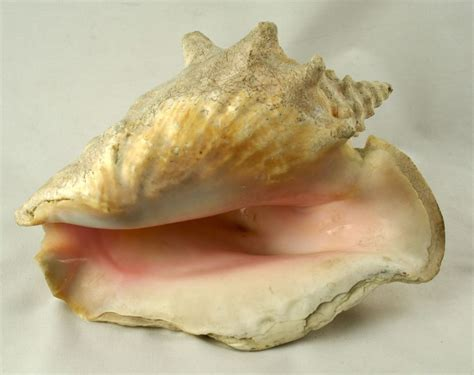Conch Shell L by Large Pink Conch Shell 9 1 2 Inches Ebay