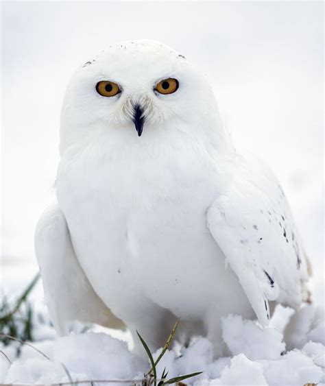 tundra the snowy owl snow chaos pictures pics