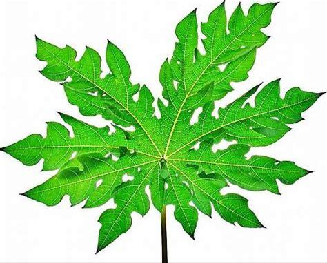 mengobati asam urat  daun pare obat jantung
