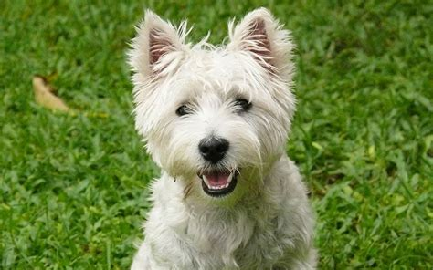 get westies hair white the westie a complete guide to the west highland white