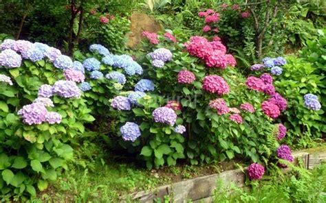 precios de plantas para jardin 1 planta de ortencia o hydrangea rara para jardin 150
