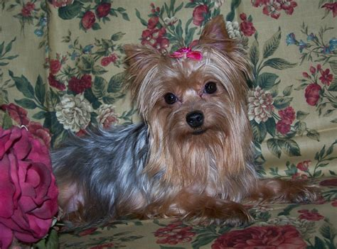 small yorkies image gallery small yorkies