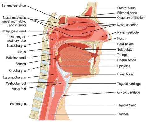 labeled diagram of and throat throat anatomy diagrams diagram site