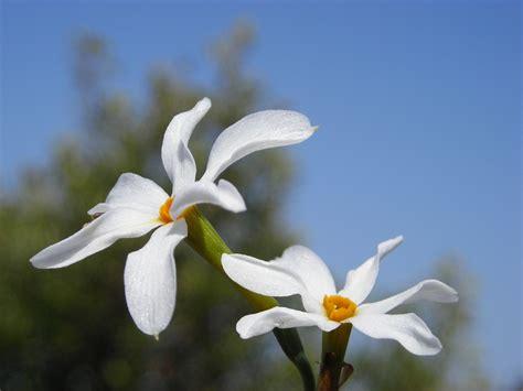 fiore autunnale le 5 specie di narciso presenti in italia il fiore