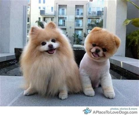 what are pomeranians known for pomeranian and the boo puppies galore juxtapost