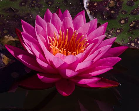 japanese garden lotus plant juliemariepics