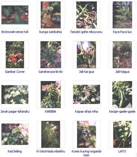 Obat Herbal Kobellon tanaman obat keluarga dan manfaatnya the knownledge