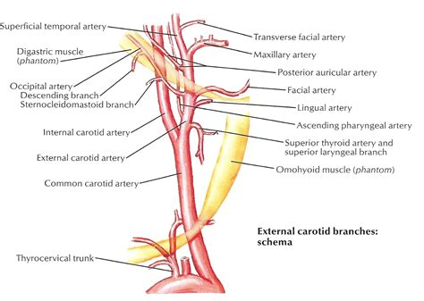 diagram of the arteries carotid artery diagram diagram of carotid artery