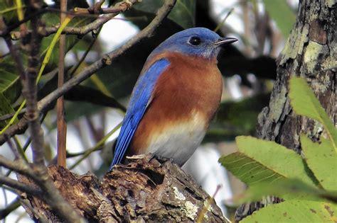 bluebird sightings not rare but pleasurable