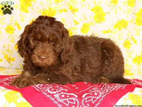 labradoodle puppies in pa 1000 ideas about labradoodle puppies for sale on bulldog puppies for sale
