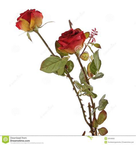 imagenes de rosas frescas rosas rojas frescas en un fondo blanco fotos de archivo