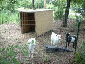 how to raise goats in your backyard 25 best ideas about nigerian dwarf goats on pinterest