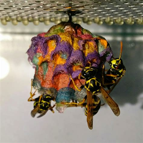 Bees That Make Paper Nests - when given colored construction paper wasps build rainbow