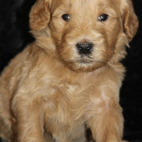 goldendoodle puppies for sale in oklahoma rising golden doodles puppies for sale