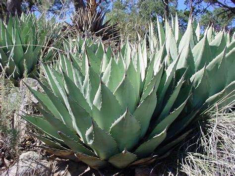 agave parryi v parryi parry s agave native succulent attractive rosette cold hardy to 15
