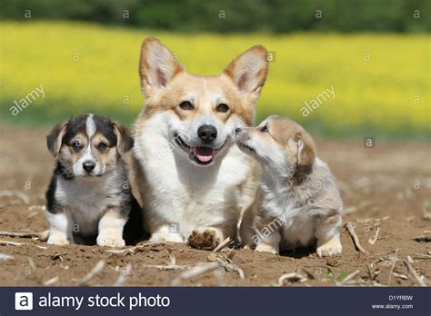 pembroke corgi colors pembroke corgi colors colors of the cardigan corgi