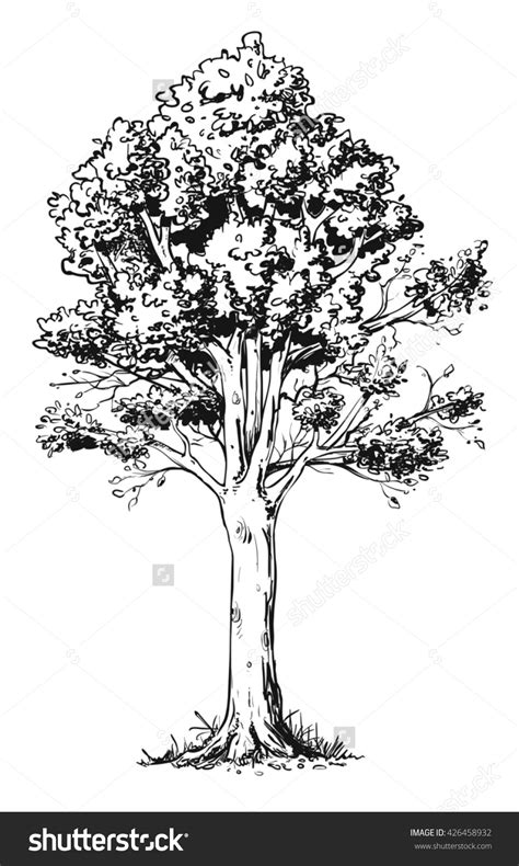 beech tree coloring page drawn tree beech tree pencil and in color drawn tree