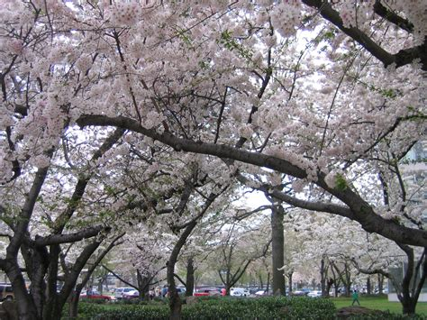 cherry blossom facts 8 facts about washington dc s cherry blossom festival