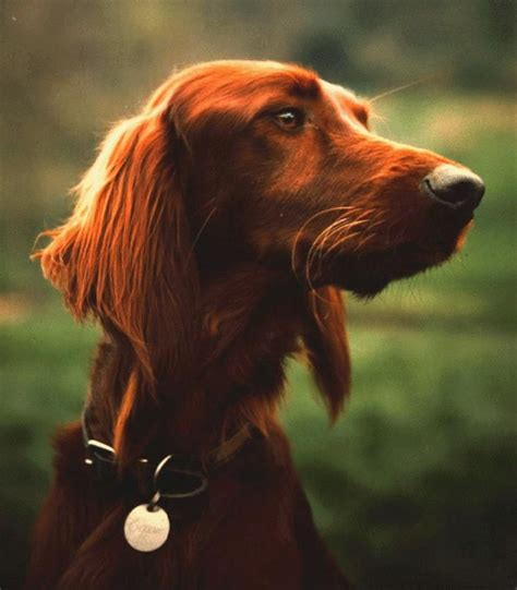 old setter dog red setter i miss my old dog a menagerie of all