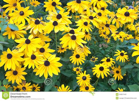 yellow garden flowers black eyed susan flower bed stock photos image 34857443