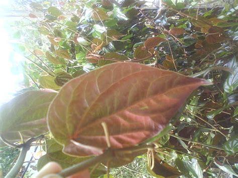 Daun Sirih Merah Kering Kemasan 100 Gram daun sirih merah kering basah kaskus archive