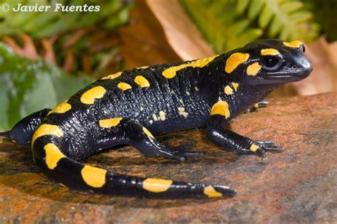 imagenes animales anfibios biologia anfibios