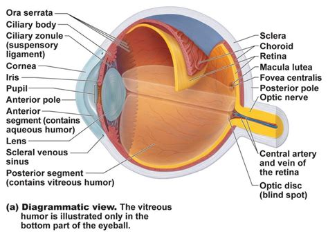 eyeball diagram labeled human eye diagrams with the unlabeled diagram site