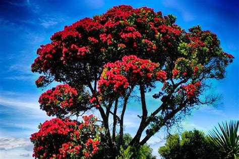 best real christmas tree nz 32 best pohutukawa images on trees trees and tree