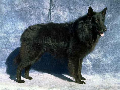 rottweiler belgian shepherd mix belgian shepherd breeds