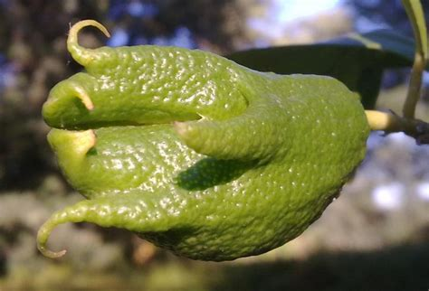 malattie limoni in vaso limone frutti deformati possibile malattia