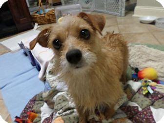 yorkie puppies knoxville tn knoxville tn yorkie terrier chihuahua mix meet a for adoption