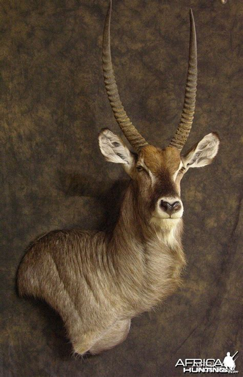 waterbuck mount hunting