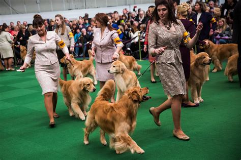 show dogs top canines compete in westminster show nbc news