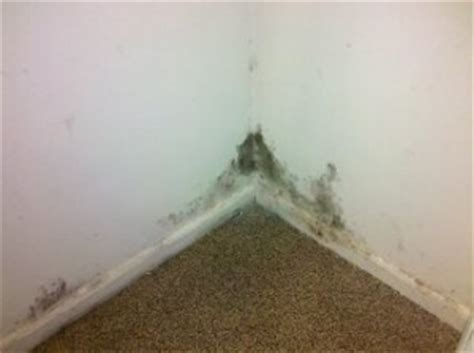 black mold in house how to discover black mold in home inspection testing remediation cleanup removal