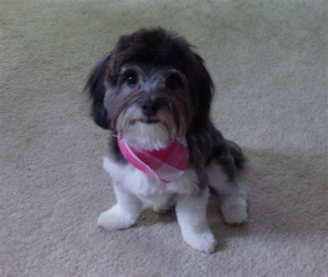 havanese forums havanese haircuts breeds picture