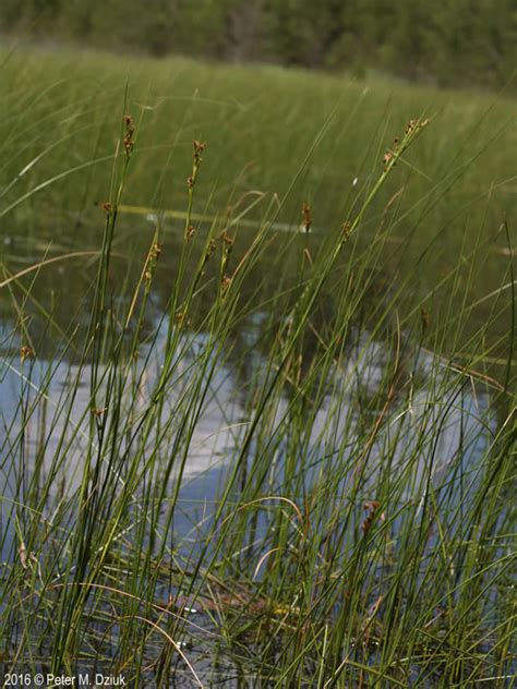 cladium mariscoides smooth sawgrass minnesota wildflowers