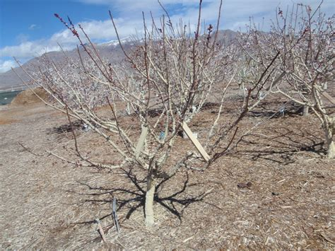 fruit tree limb spreaders xtremehorticulture of the desert what to do to fruit
