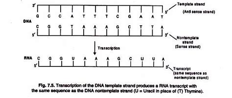 what is a template in dna transcription synthesis of rna a general account