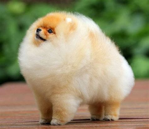 how to take care pomeranian puppy how to take care of a pomeranian puppy pomeranian care guide